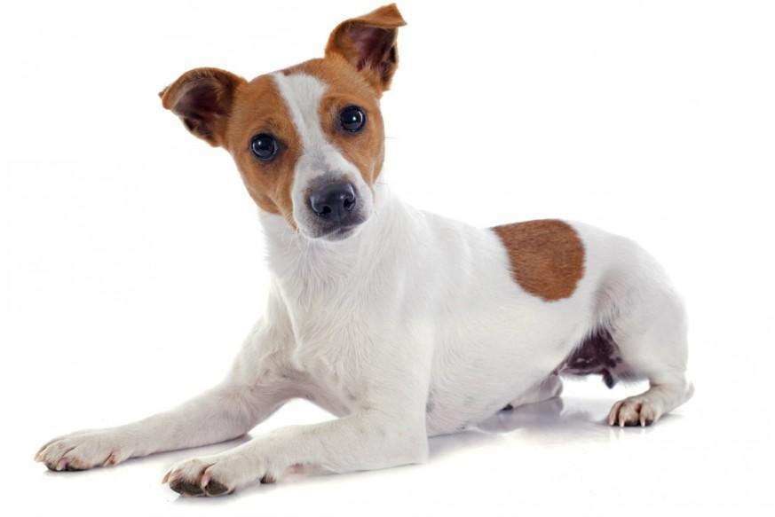 Razas-de-perros-Jack-Russell-Terrier-3