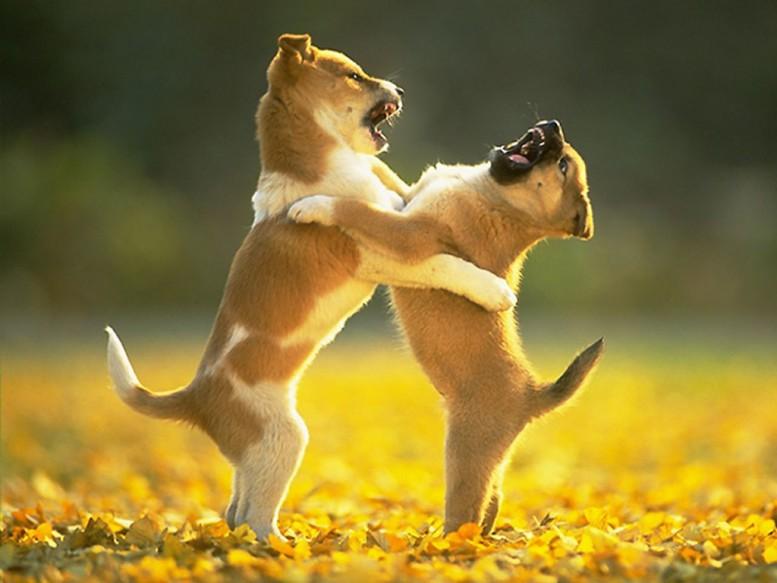peleas-entre-cachorros