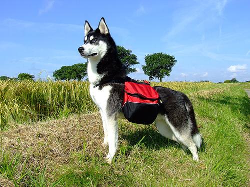 perro mochilero de excursión en el campo